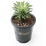 괴마옥 Euphorbia hypogaea