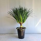 드라코 가지/공기정화식물/반려식물/온누리 꽃농원|