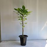 뱅갈 고무나무/공기정화식물/반려식물/온누리 꽃농원|