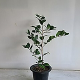 서향동백/공기정화식물/반려식물/온누리 꽃농원|