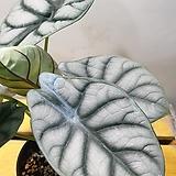 필로텐드론 실버스워드 임베실버메탈(수입식물) 새로입고