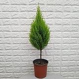 ♥율마(외목대) 20 공기정화식물♥ 