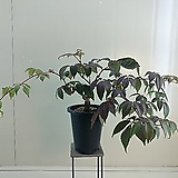 (단품)일본나무담쟁이|
