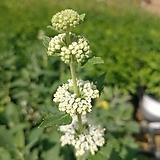 흰색 층꽃|