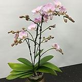 호접란 체리팝 /꽃대3대|