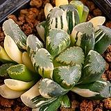 만상 교배 금(万象 交配錦)-06-11-No.440 Haworthia maughanii