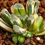 만상 교배 금(万象 交配錦)-06-11-No.1225 Haworthia maughanii