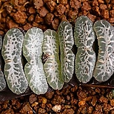 특백 옥선 특선(特白 玉扇 特選)-06-11-No.1172 Haworthia truncata