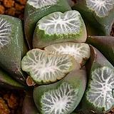 만상(특망 태백선)万象(特網 太白線)-06-11-No.988 Haworthia maughanii