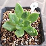축송금무지|Echeveria scaphophylla