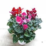 꽃이 예쁜~시클라멘((3포트한묶음) 