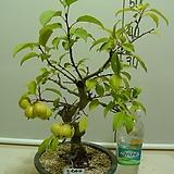 노란사과7-개나리빛 황금색열매-겨울까지 달랑달랑 달려요-동일품배송|