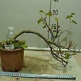 까마귀밥여름나무3-빨간열매가 일품인 자생종-동일품배송|