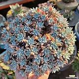 화이트그리니 76두자연군생-2 Dudleya White greenii