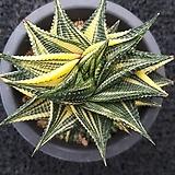 Haworthia limifolia f.variegata