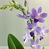 호접란 블루사파이어|Echeveria Sapphire