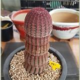 자태양 실생 |Echinocereus rigidissimus Purpleus