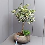 #무늬홍콩야자+초미니구절초-자연석(대형)|