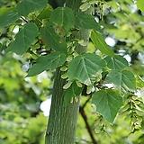 특용수 약용수 식용가능 벌나무 산청목 나무 묘목 