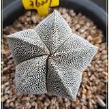 오각온즈카 실생|Astrophytum myriostigma cv. ONZUKA