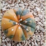 유리두금 (최상급금상태) 실생|Astrophytum asterias v. nudum