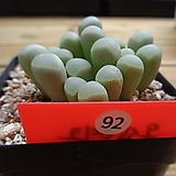 오십령옥|Fenestraria aurantiaca