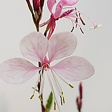 무늬바늘꽃(외목대)|