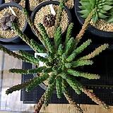이너미스 대품 103|Euphorbia inermis