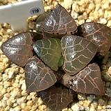 수정콤프토니아 119|Haworthia comptonia