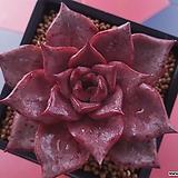 레드에보니 환엽|Echeveria agavoides ebony red