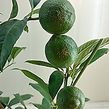 (단품)오렌지레몬나무|