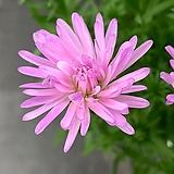 겹아스타 분홍 중품|