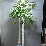 파키라 11번-특특대품-높이180센치-장축-실내식물-동일품배송|