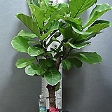 떡갈고무나무 특대품12번-높이145센치-실내식물-동일품배송|