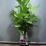 떡갈고무나무 특대품13번-높이160센치-실내식물-동일품배송|