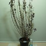 자엽짜보국수나무5번-대품-묵은주-아이보리핑크꽃-동일상품배송|Echeveria J.C.Van Keppel