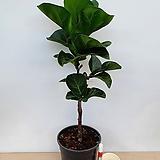 떡갈고무나무(외목수형)|