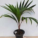 주병야자(특품/A)-동일품배송-공기정화식물|