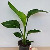 여인초(공기정화식물)|