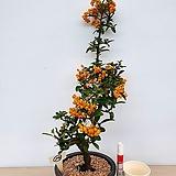 황실피라칸사스/10-동일품배송|