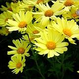 노랑구절초(꽃대소품)|