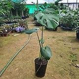몬스테라 (공기정화식물)초특가한정수량|