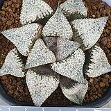 픽타 실생 3 Haworthia picta