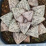 픽타 실생 2 Haworthia picta