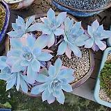 블루라이트 7두적심군생 왕대품 Echeveria Blue Light