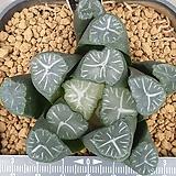 만상 실생 9-24 Haworthia maughanii