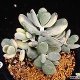 방울복랑금85|Cotyledon orbiculata cv variegated