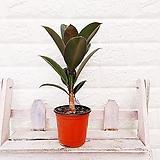 [하늘꽃농원] 실내공기정화 멜라니 고무나무|
