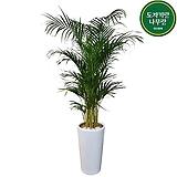 대형 아레카야자 (원형완성분) 사무실 인테리어 식물 개업축하화분선물 DLP-397|
