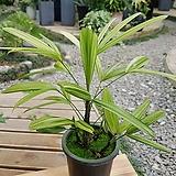 서황금 포트(약 20cm) 공기정화 인테리어 식물|